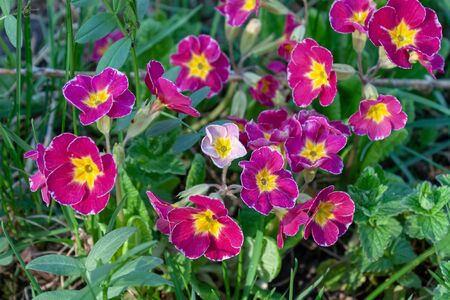 Beautiful flower primrose. Latin name: Primula. Purple with a yellow center