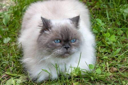 Beautiful fluffy cat with blue eyes sits on the green grass