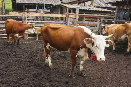 Beautiful red and white cows are standing in the paddock on the farm. Dirt under your feet