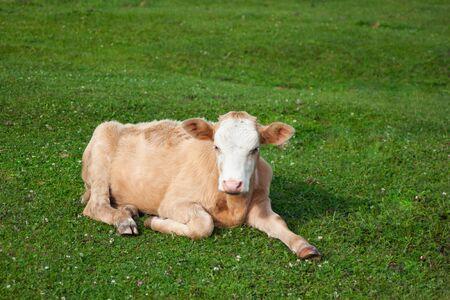 A cute light brown calf lies on the bright fresh green grass. Summer sunny day