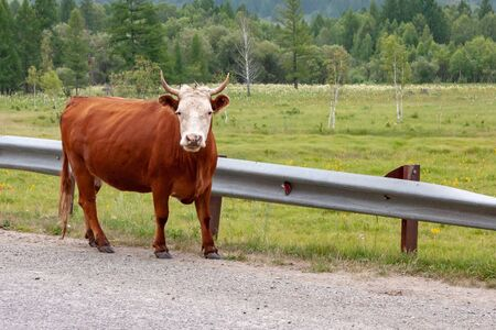 Beautiful big red-headed white-headed cow stands on the road near the fence