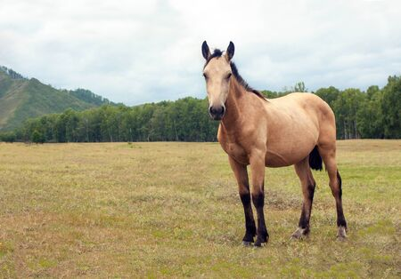 A very beautiful well-kept light brown horse grazes in a wonderful alpine meadow, eats fresh green grass. Mountains, ranch, summer, warm day Standard-Bild