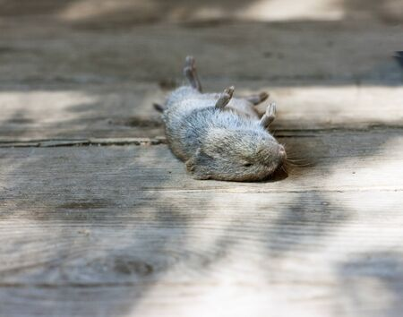 A dead mouse lies on an old wooden floor. sunny day