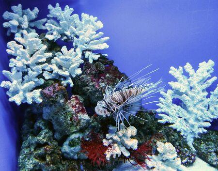 Beautiful aquarium with coral, stones, algae and dragon fish Фото со стока