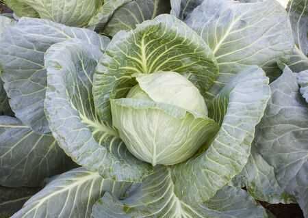 Beautiful, fresh head of cabbage growing on the ground