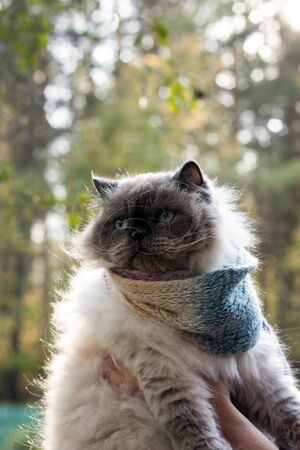 A beautiful fluffy cat with blue eyes wrapped himself in a scarf. Shot in backlight