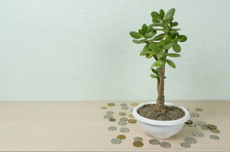 Money tree, latin name Crassula. Around it lie coins of yellow and white metal. The concept of wealth, investment, investment, bank deposit. Place for text