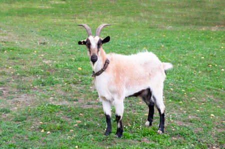 A beautiful goat with large horns in a collar stands on the green grass