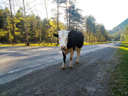 A large black and white-headed cow stands in the middle of a road in the forest