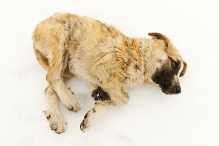 cara leon: peque�o perro pastor cachorro mast�n en la nieve de Le�n, Espa�a