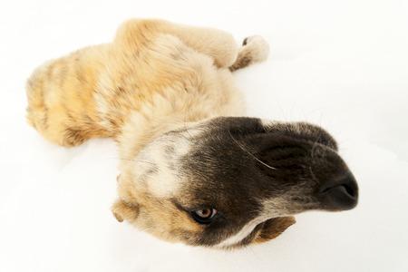cara leon: peque�o perro pastor cachorro mast�n en la nieve del escritor Le�n Espa�a Descripci�n: peque�o perro pastor cachorro mast�n en la nieve de Le�n Espa�a