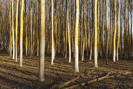 poplars: poplars field at sunrise Stock Photo
