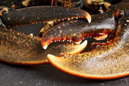 coger: langosta fresca europeo, gammarus homarus, de la costa atlántica de piedra de pizarra
