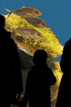 museum visit: child  in silhouete  observing  amberjacks fish at the aquarium