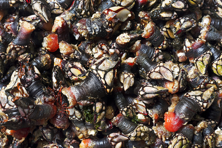 whimsy: fresh goose barnacles on porcelain plate of  Galicia Spain  atlantic coast Stock Photo
