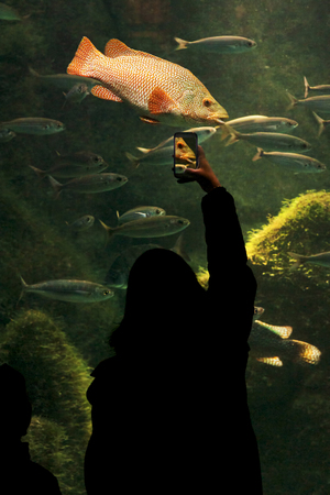 aquarium visit: woman in silhouette taking photos to Ballan wrasse fish at the aquarium