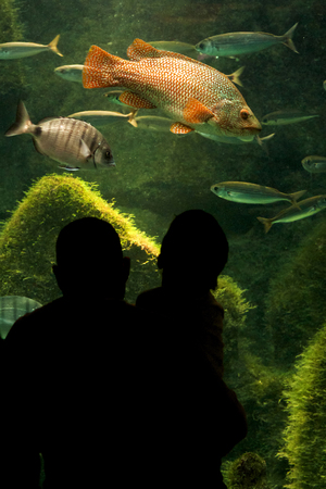 public aquarium: father and son in silhouette watching a ballan wrasse fish at the aquarium