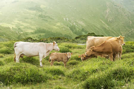 pyrenees: cows and calves grazing in the green mountains of Cape Ortegal, Galicia, Spain Stock Photo