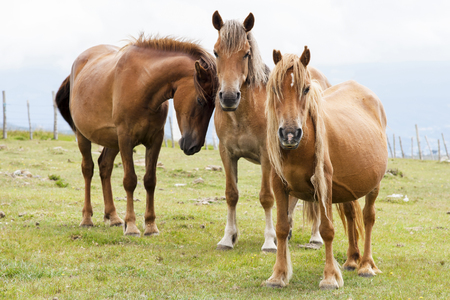 browns: browns horses in green mountains of Cape Ortegal, Galicia, Spain