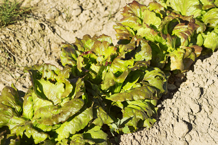 lettuces: lettuces in vegetable crops in the fields of Castilla, Spain