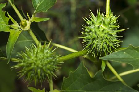 seedpod: stramonium , jimson weed , dangerous plant