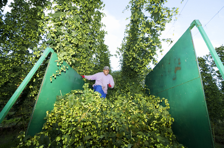 humulus: hops farmers with tractor  in the collection of hop cones , Villoria village , Leon, Spain