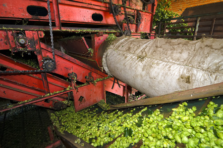 humulus: hops farmers with tractor  in the collection of harvest , Villoria village , Leon, Spain Stock Photo