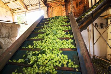 humulus: hops farmers working with hop picking machine , Villoria village , Leon, Spain