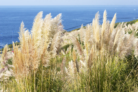 invasive: pampas grass invasive plant growing uncontroled in fields and parks , A Coruna , Spain Stock Photo
