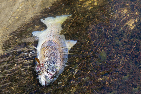 rainbow trout: rainbow trout steelhead dead for pollution in river