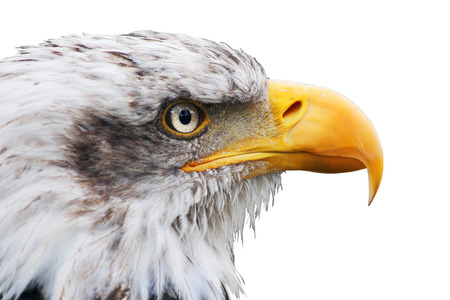 haliaeetus leucocephalus: isolated bald eagle, haliaeetus leucocephalus, isolated in white background