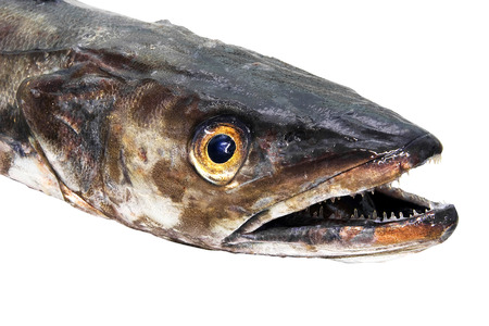 fished: isolated fresh hake, Merluccius merluccius, in white background, Merluccius merluccius, in white background Stock Photo