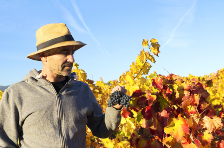 wine grower: vineyards in autumn with the last bunches of grapes, wine grower man working , Bierzo , Spain
