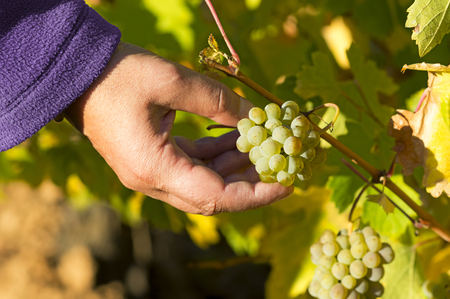 grower: vineyards in autumn with the last bunches of grapes, wine grower woman working , Bierzo , Spain
