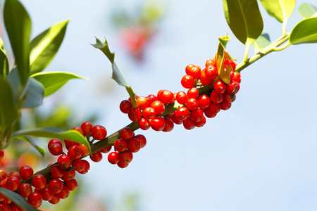 holly tree with red berries and glossy leaves in Leon mountains , Spain ,  background