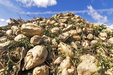 sugar beet collected in field by farmer