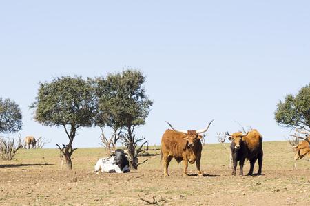 kine: ox, oxen, cattle farm in Spain