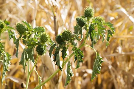 nightshade: stramonium , jimson weed , toxic plant near the cornfields Stock Photo