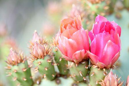 spines: Cactus flowers Stock Photo