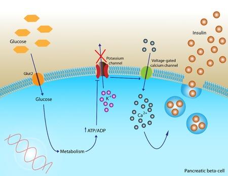 Insuline secretie