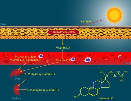 vitamins: Vitamin D metabolism
