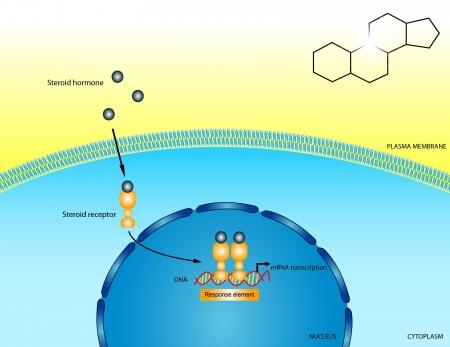 lipid: Steroid hormones