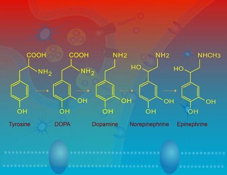 Biosynthesis of epinephrine (adrenaline) 版權商用圖片