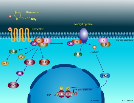 histamine: Histamine molecular pathways
