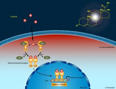 nucleus: Cortisol signaling pathway Stock Photo