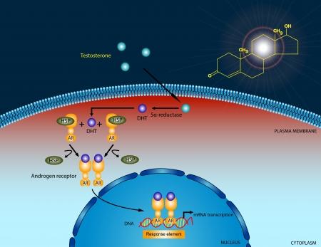 testosterone: Testosterone signaling pathway Stock Photo