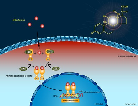 hormone: Aldosterone signaling pathway Stock Photo