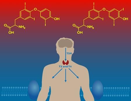 hormonas: Las hormonas tiroideas