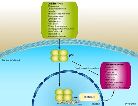 signaling: Function of p53 oncogene Stock Photo