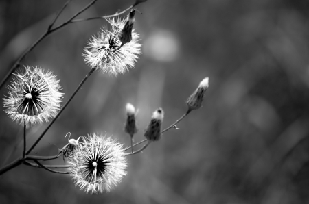three wishes: Dandelions in Black and White